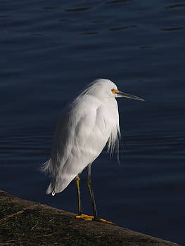 Snowy Egret Standing by Bob and Jan Shriner