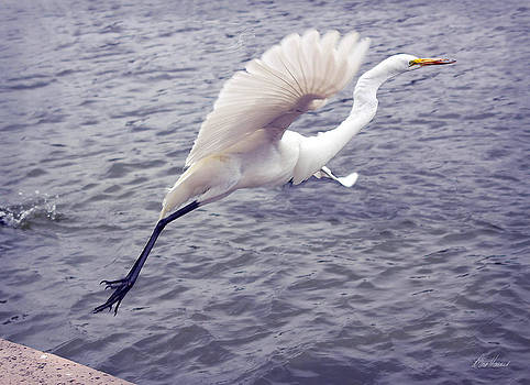 Diana Haronis - Snowy Egret Taking Off