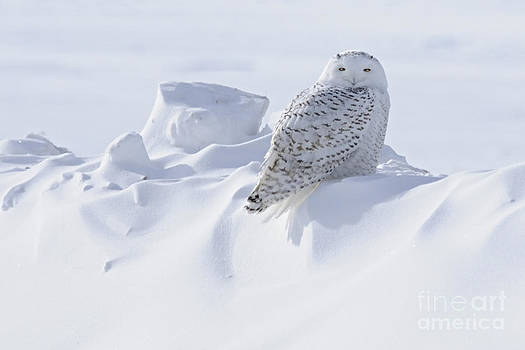 Larry Ricker - Snowy on a Snowbank