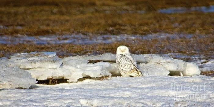 Amazing Jules - Snowy Owl