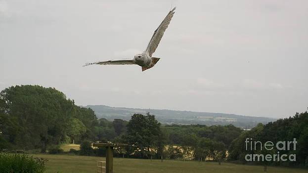 Snowy Owl In Flight by John Williams