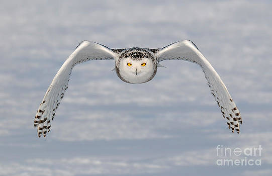 Scott Linstead - Snowy Owl Incoming