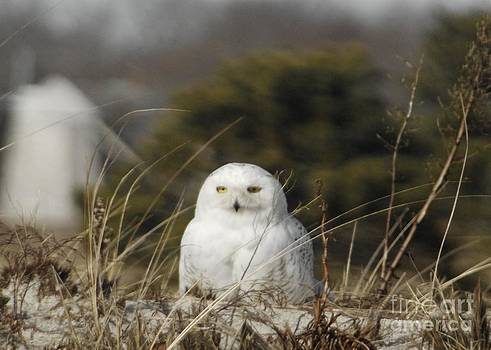 Amazing Jules - Snowy Owl on Cape Cod