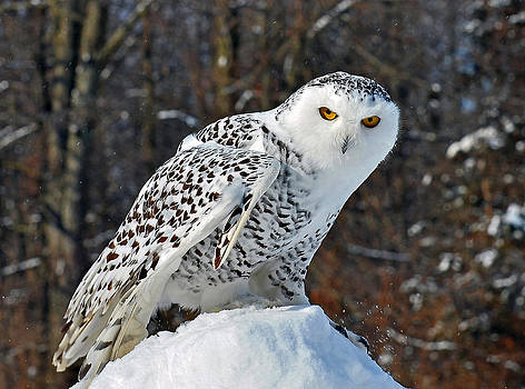Snowy Owl by Rodney Campbell