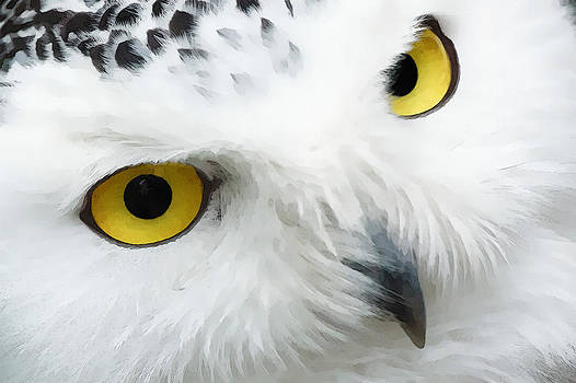 Snowy owl  by William Wooding