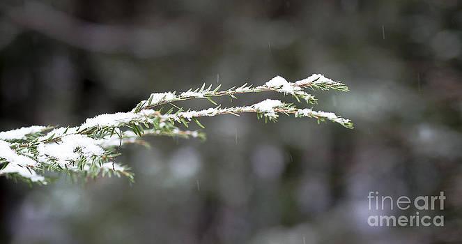 Steven Ralser - Snowy pine