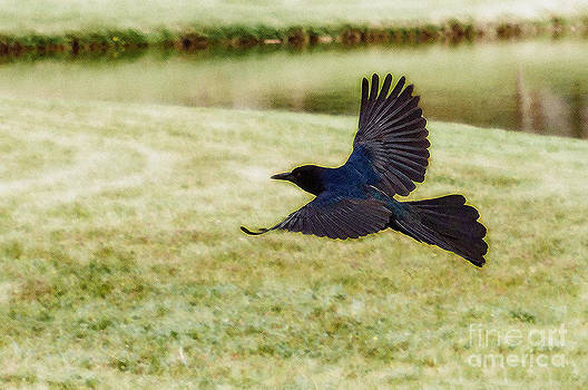 Soaring Boat-Tailed Grackle - Glow by Shawn Lyte
