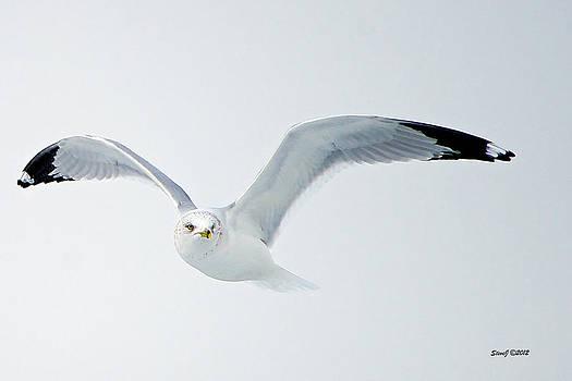 Soaring Ring Billed Gull by Stephen  Johnson