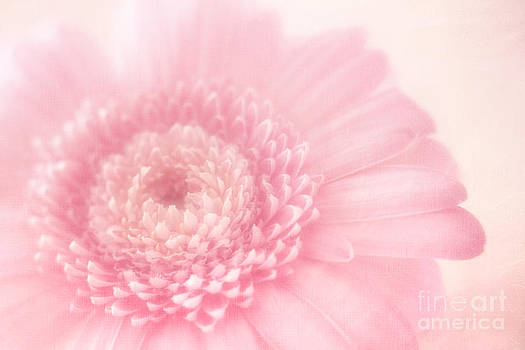 LHJB Photography - Soft delicate Pink Gerbera daisy