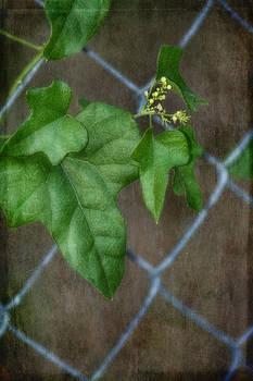 Soft Ivy by Joan Bertucci