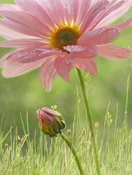 Nina Bradica - Soft Pink Daisy