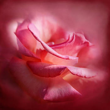 Soft Pink Rose by Sally Bauer