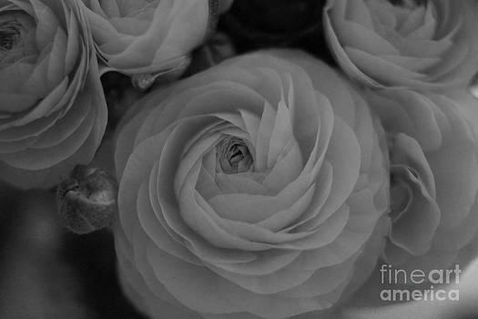 Soft Ranunculas by Cassandra Buckley