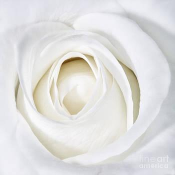 Kate McKenna - Soft White Rose