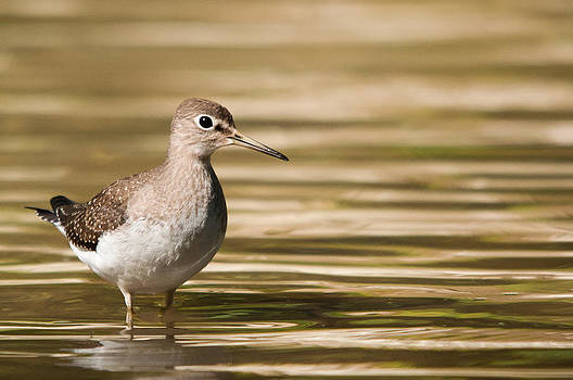 Solitary Sandpiper by Daniel Forget