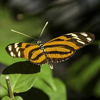 Lynn Palmer - Solitary Tiger Longwing