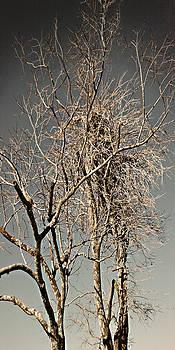 Steve Sperry - Solo Scrubbed Oak