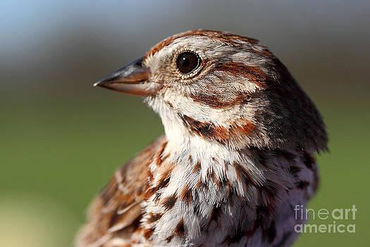 Song Sparrow Portrait by Deanna Wright