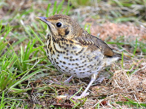 John Tidball  - Song Thrush