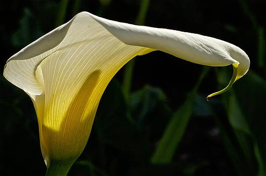 Sonoma Calla Lily  by Colleen Renshaw