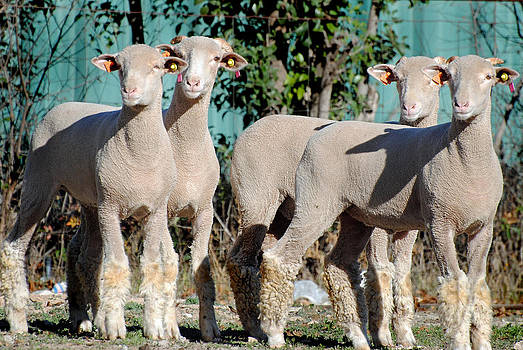 Jeff Brunton - Sonora TX Lambs 2