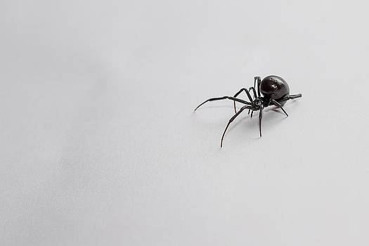 Southern Black Widow Spider by Amber Flowers