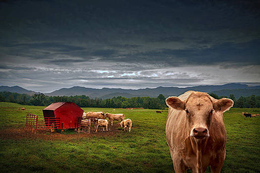 Southern Steer by William Schmid