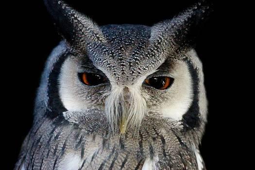 Paulette Thomas - Southern White-Faced Scops Owl