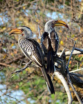 Ramona Johnston - Southern Yellow Billed Hornbills