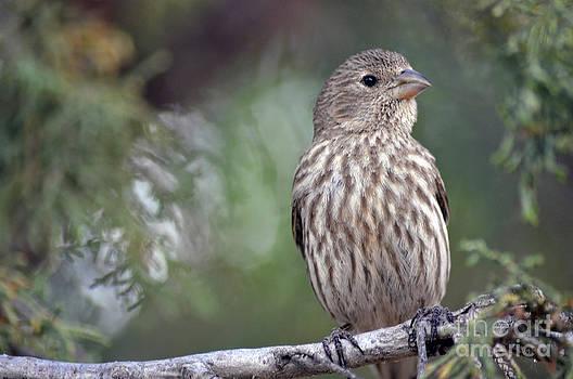 Sparrow  by Juls Adams