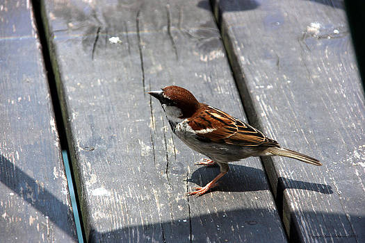 Sparrow by Leena Pekkalainen