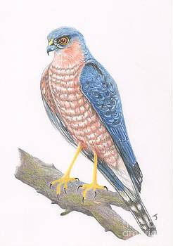 Sparrowhawk by Yvonne Johnstone