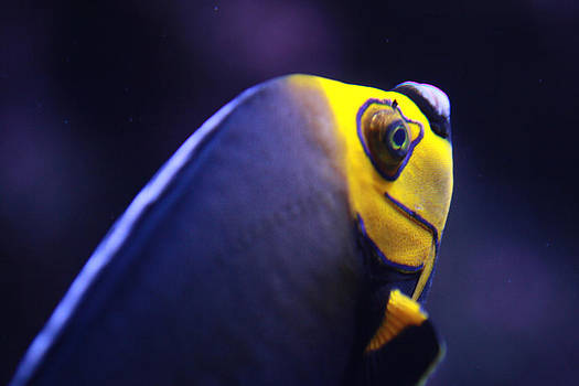 Spectacled Angelfish by Tinjoe Mbugus