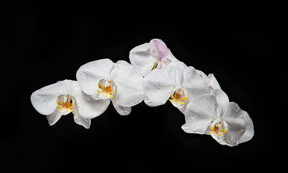 Specular Orchid by David Kittrell