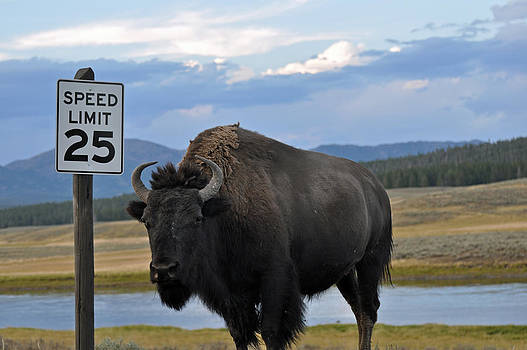 Speedy Bison in Yellowstone National Park by Bruce Gourley
