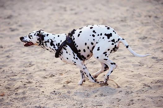 Jenny Rainbow - Speedy Girl. Kokkie. Dalmatian Dog