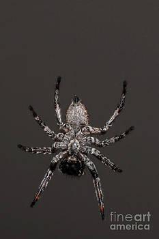Spider by Ann-Charlotte Fjaerevik