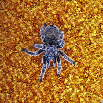 Daniel Furon - Spider Blue 2
