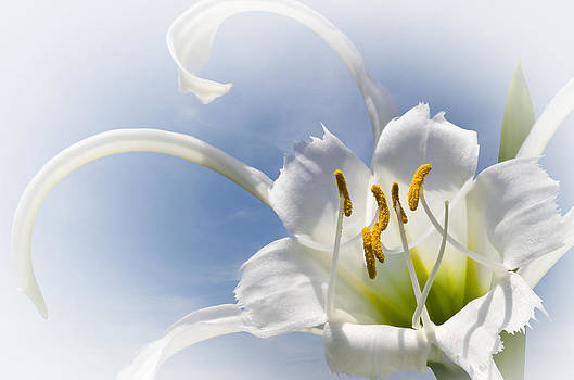 Jane McIlroy - Spider Lily