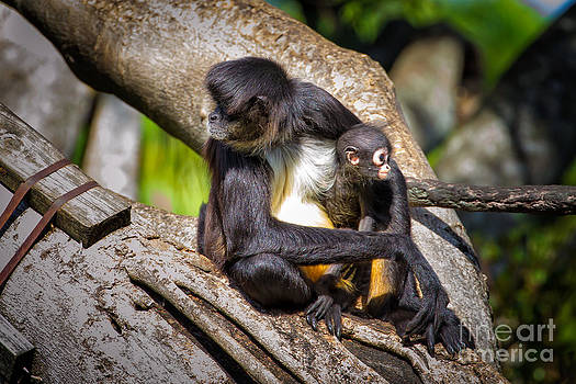 Spider Monkey Mom and Baby by Stephanie Hayes