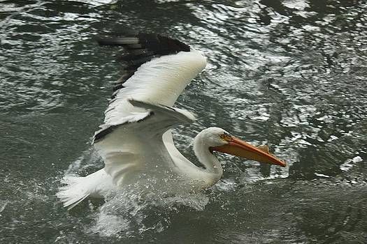 Splashing Pelican by Bonita Hensley