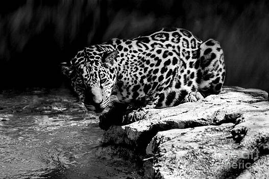 Lynn Palmer - Spotted Jaguar on Rock