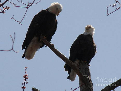 Spring Bald Eagles 2013 XI by Daniel Henning