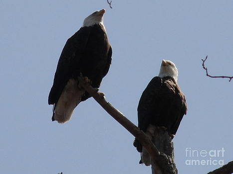 Spring Bald Eagles 2013 XII by Daniel Henning