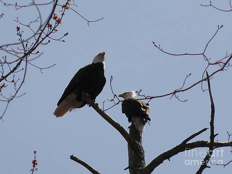 Spring Bald Eagles 2013 XXV by Daniel Henning
