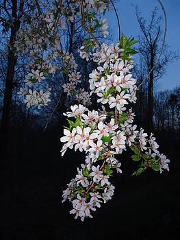 Spring Blooms by Otis L Stanley