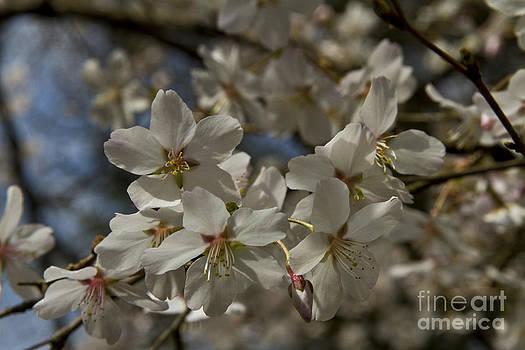 Spring blossom by Robert Wirth