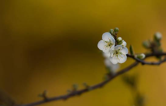 Roger Mullenhour - Spring Blossoms