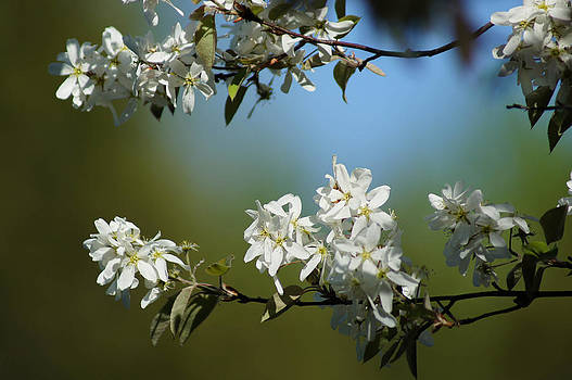 Spring Blossoms by Tingy Wende