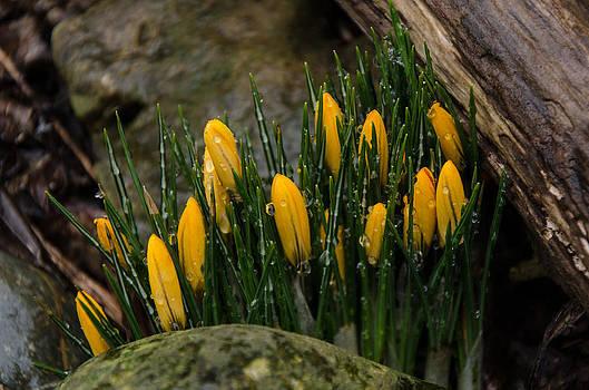 Spring Crocus by Diana Boyd